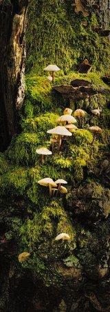 Mycena sp on a mossy stump, Wales.