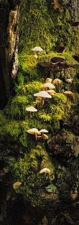 Mycena sp. on a mossy trunk, Brecon Beacons, Wales.