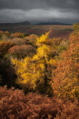 Autumn Larch, Brecon Beacons, Wales.