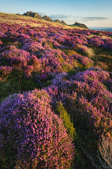 Preseli Heather, West Wales, UK