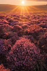 Preseli Heather, West Wales, UK.