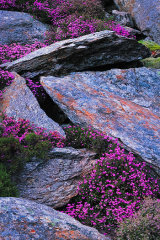 Bell Heather, Rhyolite and Ling, Snowdonia, Wales.