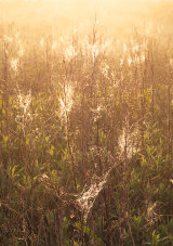 Sunlit webs near the River Usk, Newport, Wales.