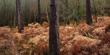 Thicket of Birch and Fern, Forest of Dean, England