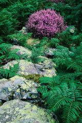 Heather tuft, Snowdonia, Wales