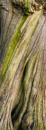 Dead tree bark, Vale of Ewyas, Brecon Beacons, Wales.