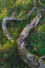 Fallen Tree, Snowdonia, Wales