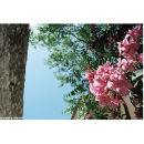 'Pretty & Pink' Fiscado, Kefalonia