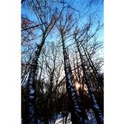'Snowrise' (PIC051)
