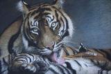 'A Lick and a Promise' Sumatran Tiger