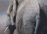 'An African Tail' African elephant