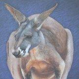 'Big Red' Red Kangaroo