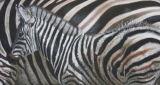 'Camouflage' Plains Zebra