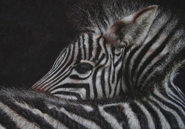 'Earning My Stripes'  Plains Zebra