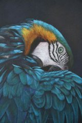 'Feather Weight' Blue and Gold Macaw.