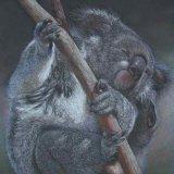 'The Itch' Koala