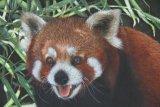'Red Hot' Red Panda