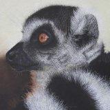 Lemur Gold  Ring Tailed Lemur