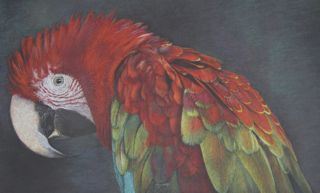 'Simply Red' Green Winged Macaw