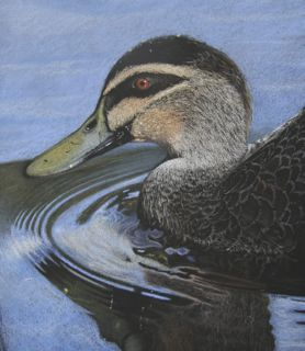 'Fits the Bill' Pacific Black Duck