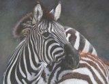 'Bonding' Plains Zebra