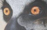 'Eye Witness I' Ring-Tailed Lemur
