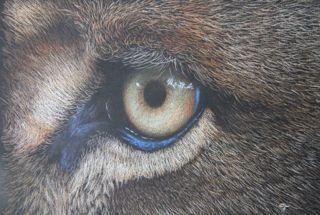 'Eye Witness II' Lion