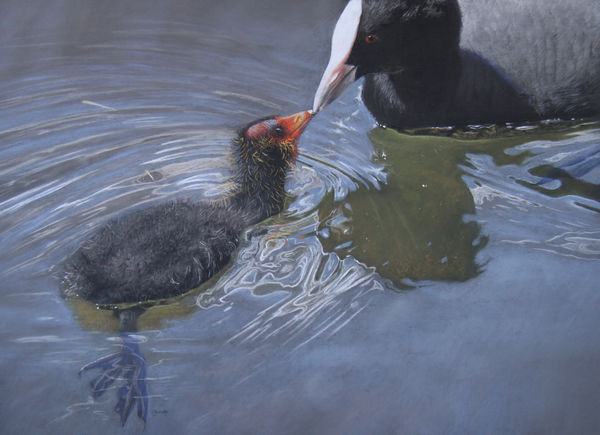 'Bald As A Coot'
