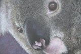 'Eye Witness III' Koala