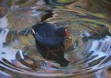'Illusion'  Dusky Moor Hen