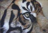 'Intensity' Sumatran Tiger