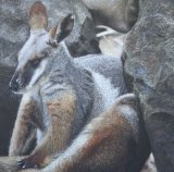 'Rock Legend' Yellow Footed Rock Wallaby