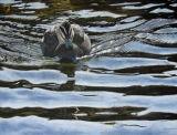 'Serenity' Pacific Black Duck