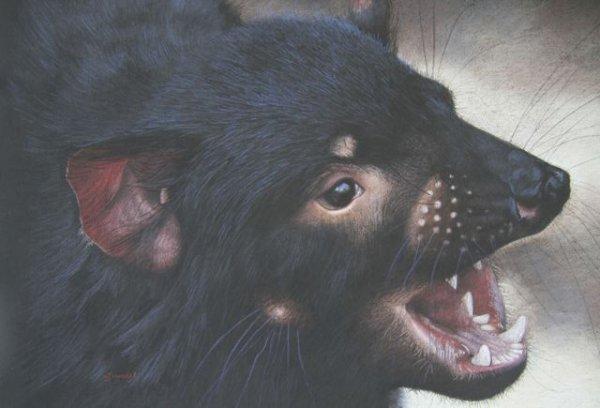 'The Devils in the Detail'   Tasmanian Devil