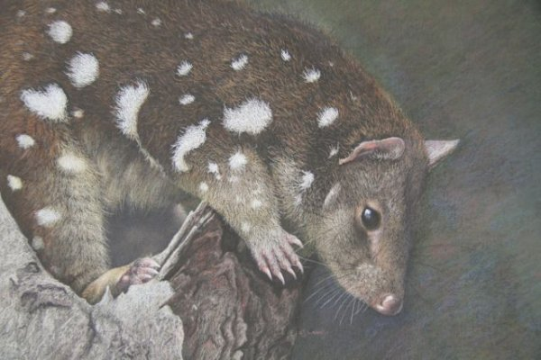 'Tight Spot' Spotted-tailed Quoll