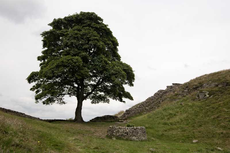 Highshield Crag sycamore0012