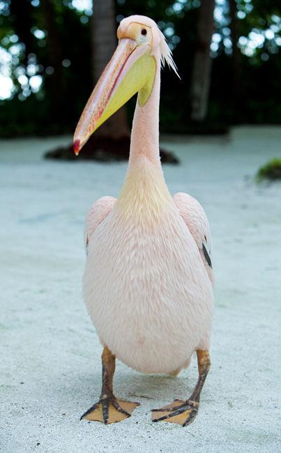 Pink Pelican I