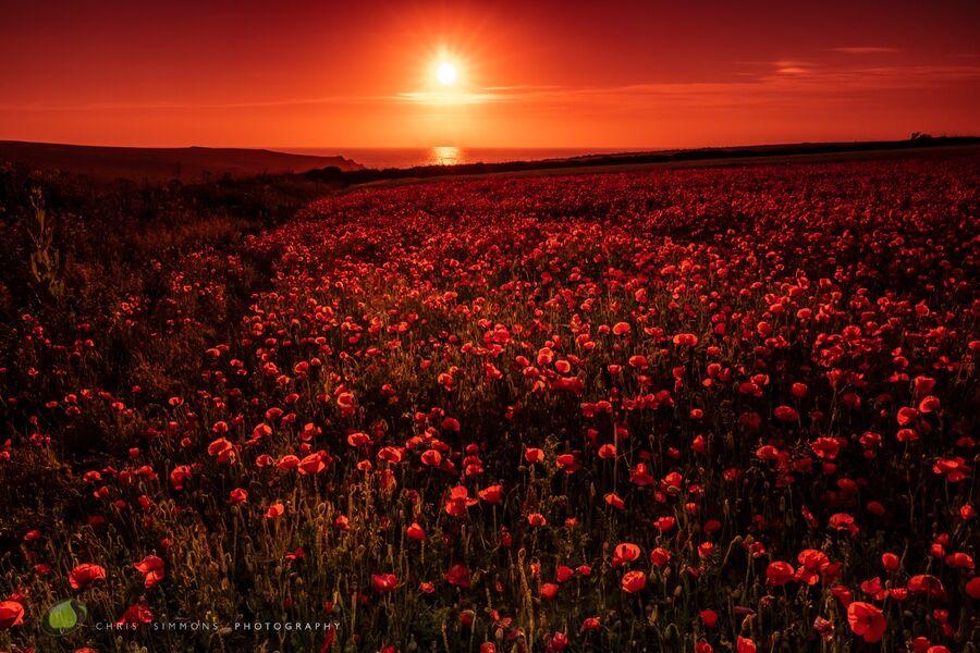 Poppy Field Scarlet Sundown