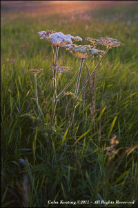Hemlock in among the grass and against the setting Sun