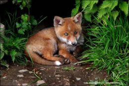 Fox Cub taking the sun.