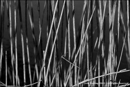 Reeds at Grand Canal.