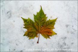 Maple Leaf on Snow