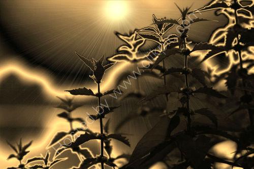 Nettle Sundown