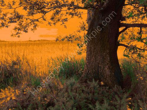 The Snape Oak