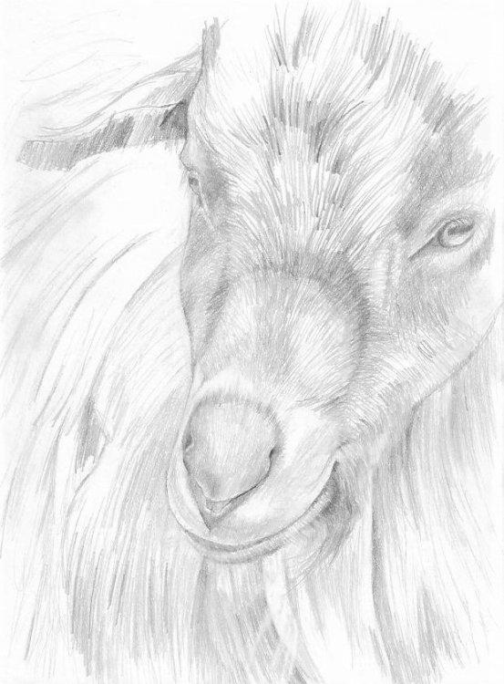 Inquisitive Goat