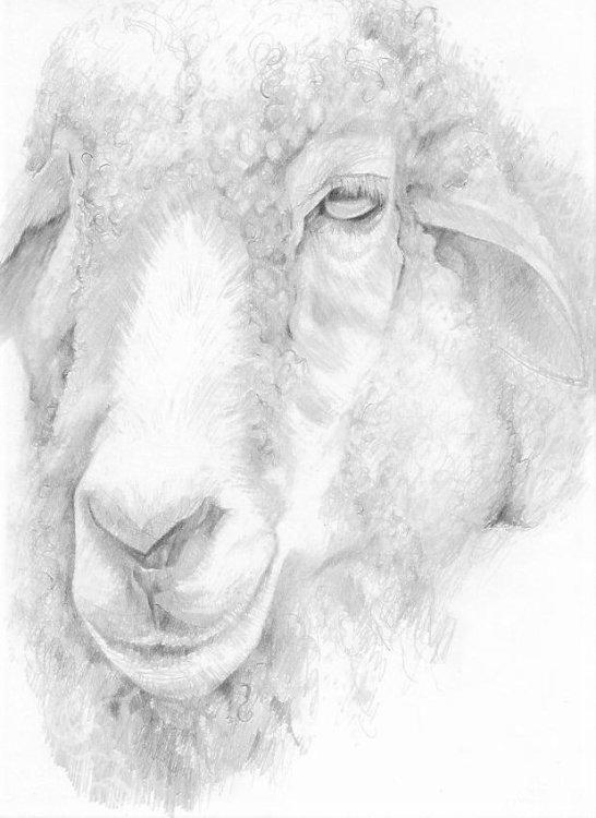 Melancholy Sheep 2