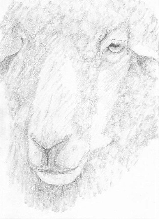 Melancholy Sheep 3