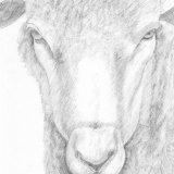Posing Sheep