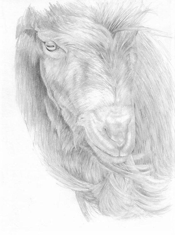 Windswept Goat