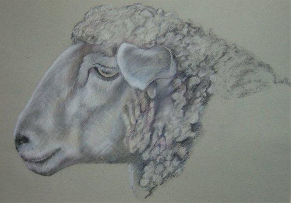 Wistful Sheep